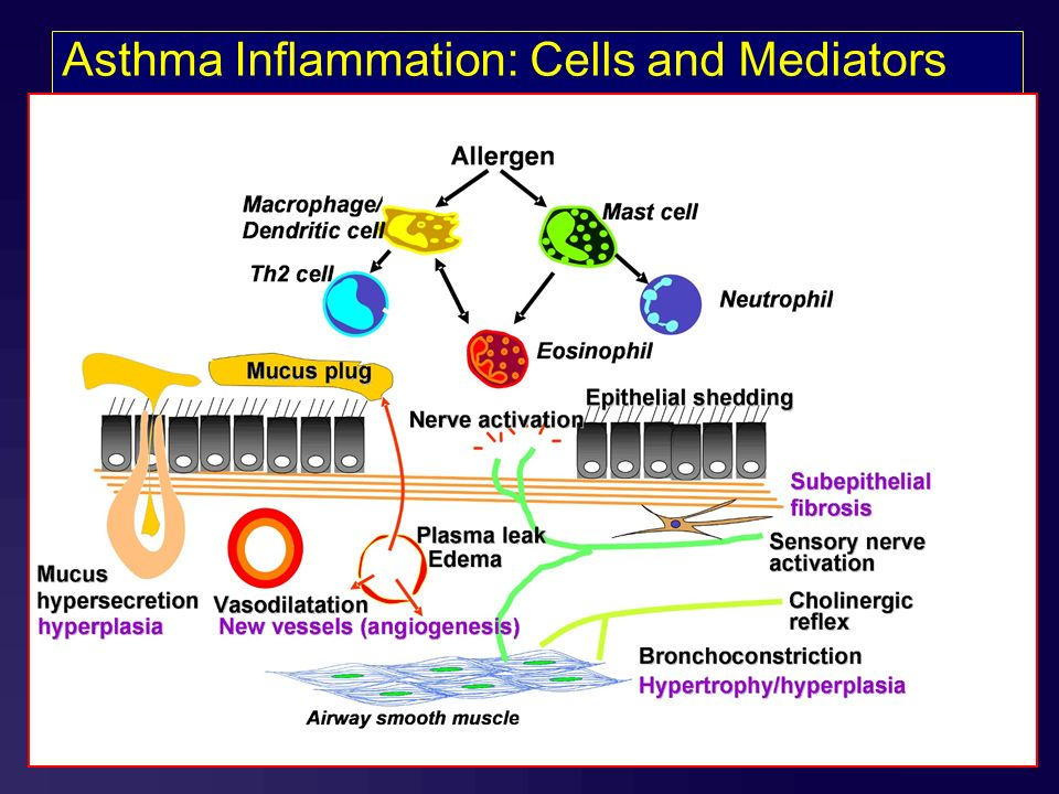 129 G IN A lobal itiative for sthma lobal itiative for sthma Asthma Inflammation: Cells and Mediators Source: Peter J. Barnes, MD Revised 2006