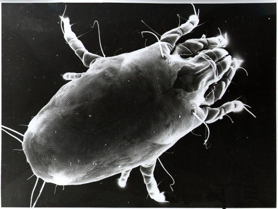 D.Pteronnyssinus/D.Farinae Paralelo AAC Adultos (22 A/11 Pl) Asma Eficacia + Rapidez Efecto 6 meses D.Pteronnyssinus/D.Farinae Paralelo ADCCP Adultos