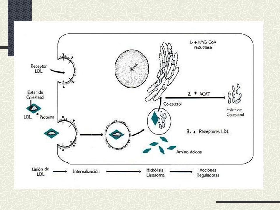 METABOLISMO Se sintetiza a partir de Acetil-CoA Transporte por LDL y HDL Precursor en síntesis de hormonas esteroideas La producción no regulada puede