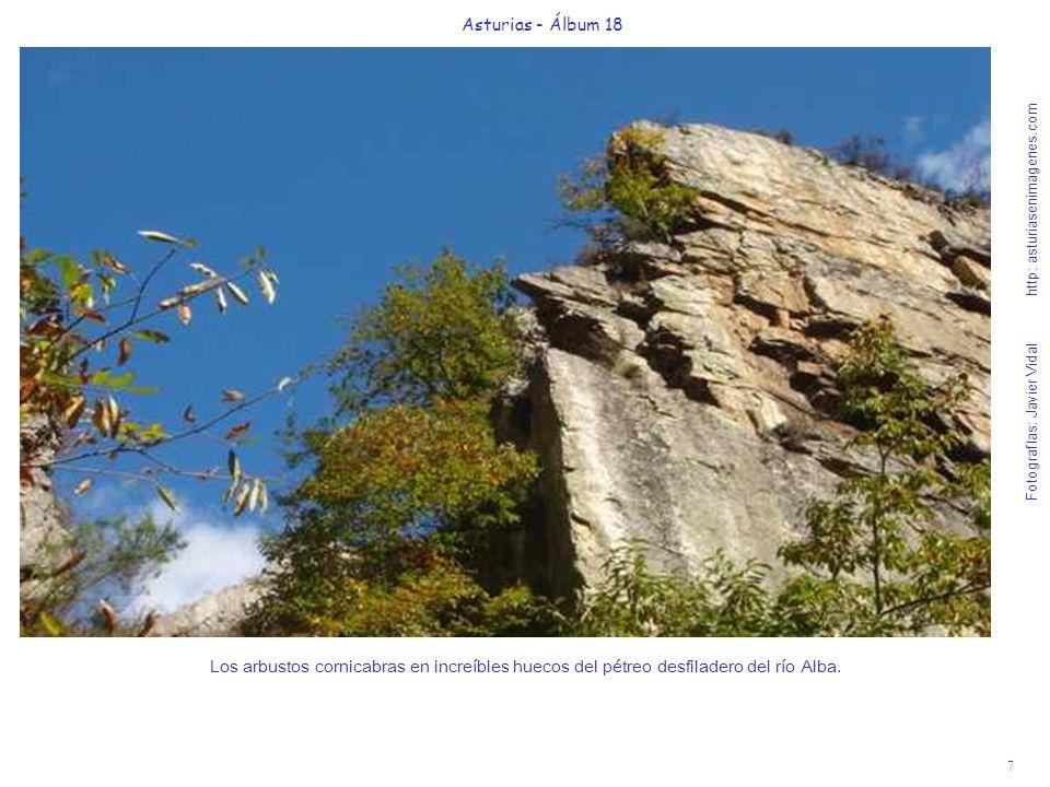 7 Asturias - Álbum 18 Fotografías: Javier Vidal http: asturiasenimagenes.com Los arbustos cornicabras en increíbles huecos del pétreo desfiladero del
