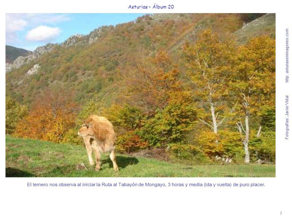 3 Asturias - Álbum 20 Fotografías: Javier Vidal http: asturiasenimagenes.com El ternero nos observa al iniciar la Ruta al Tabayón de Mongayo, 3 horas