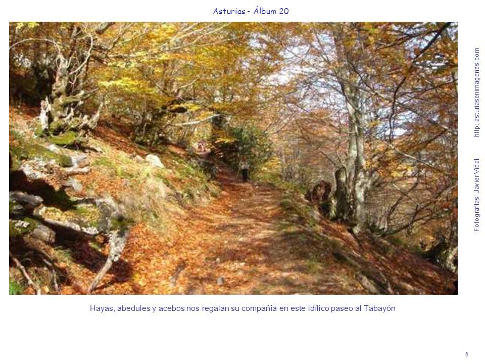 6 Asturias - Álbum 20 Fotografías: Javier Vidal http: asturiasenimagenes.com Hayas, abedules y acebos nos regalan su compañía en este idílico paseo al