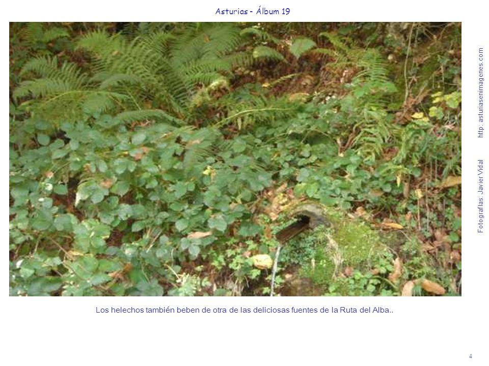 4 Asturias - Álbum 19 Fotografías: Javier Vidal http: asturiasenimagenes.com Los helechos también beben de otra de las deliciosas fuentes de la Ruta del Alba..