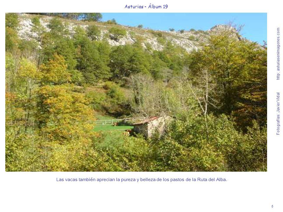 6 Asturias - Álbum 19 Fotografías: Javier Vidal http: asturiasenimagenes.com Las vacas también aprecian la pureza y belleza de los pastos de la Ruta del Alba.