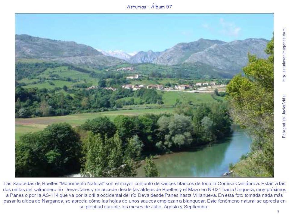 9 Asturias - Álbum 57 Fotografías: Javier Vidal http: asturiasenimagenes.com En esta guapísima foto tomada desde la N-621 entre Buelles y el Mazo se aprecia mucho mejor que en la foto anterior cómo están empezando a blanquear sus hojas en claro contraste con el resto de los árboles que les rodean.