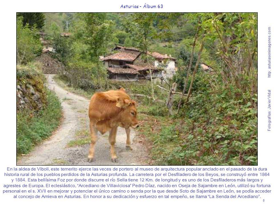 6 Asturias - Álbum 63 Fotografías: Javier Vidal http: asturiasenimagenes.com En la aldea de Viboli, este ternerito ejerce las veces de portero al muse