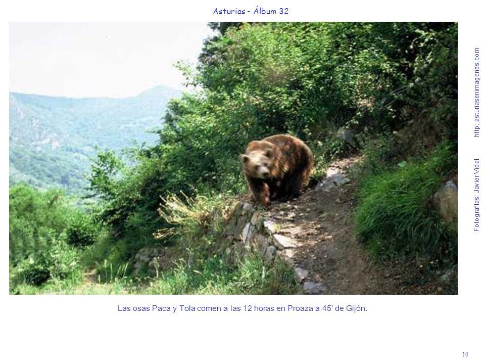 10 Asturias - Álbum 32 Fotografías: Javier Vidal http: asturiasenimagenes.com Las osas Paca y Tola comen a las 12 horas en Proaza a 45' de Gijón.