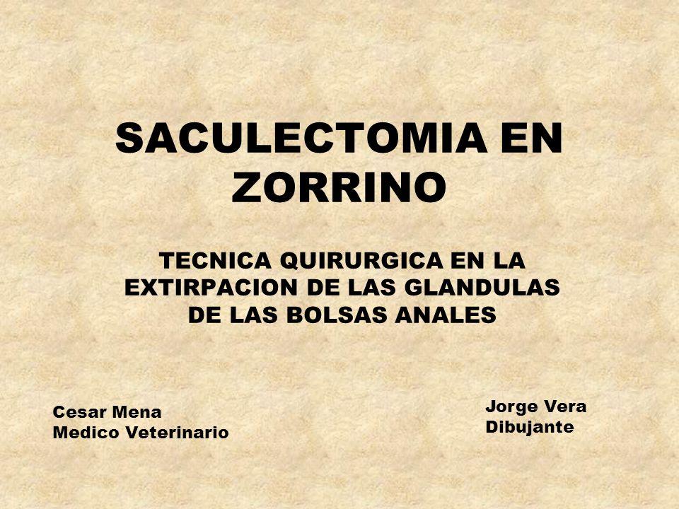 SACULECTOMIA EN ZORRINO TECNICA QUIRURGICA EN LA EXTIRPACION DE LAS GLANDULAS DE LAS BOLSAS ANALES Cesar Mena Medico Veterinario Jorge Vera Dibujante