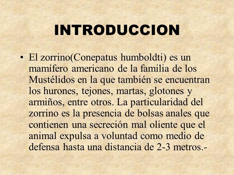 INTRODUCCION El zorrino(Conepatus humboldti) es un mamífero americano de la familia de los Mustélidos en la que también se encuentran los hurones, tej