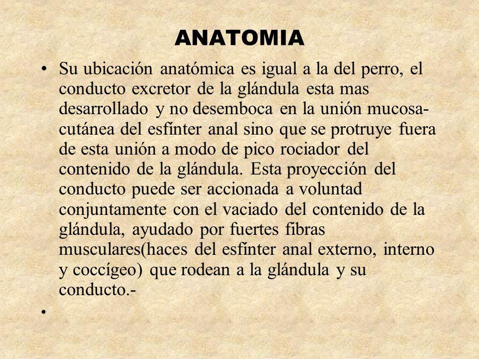 ANATOMIA Su ubicación anatómica es igual a la del perro, el conducto excretor de la glándula esta mas desarrollado y no desemboca en la unión mucosa-