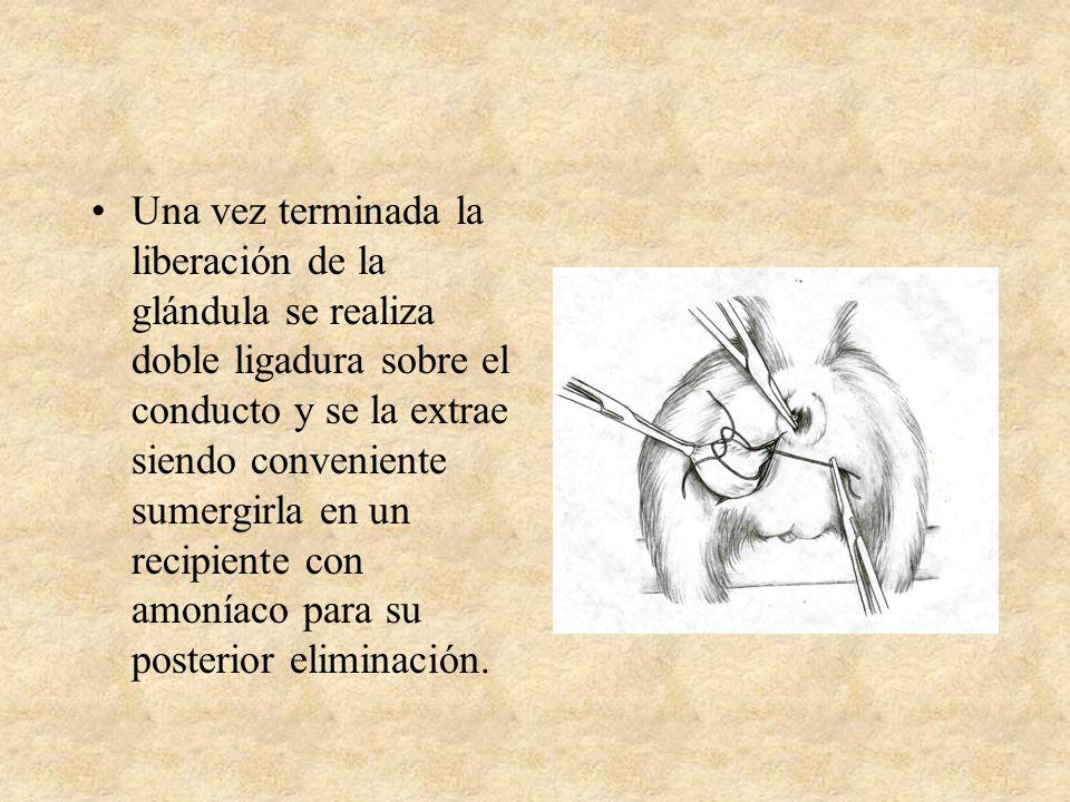 Una vez terminada la liberación de la glándula se realiza doble ligadura sobre el conducto y se la extrae siendo conveniente sumergirla en un recipien