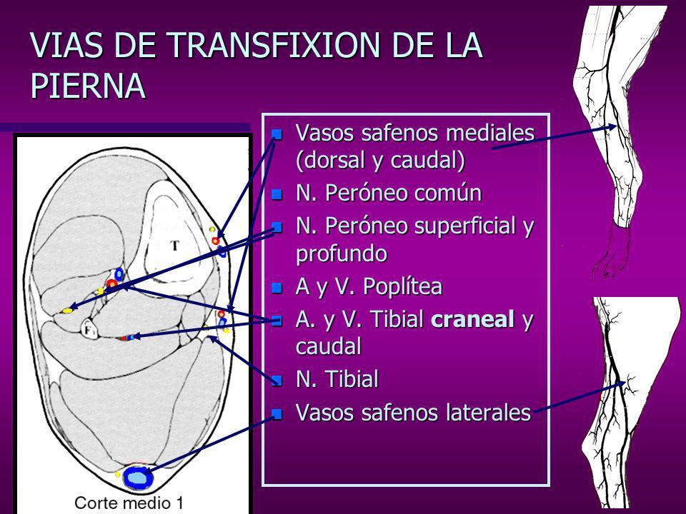 VIAS DE TRANSFIXION DE LA PIERNA (región proximal) n I –E: Cóndilo medial, craneal a la A.