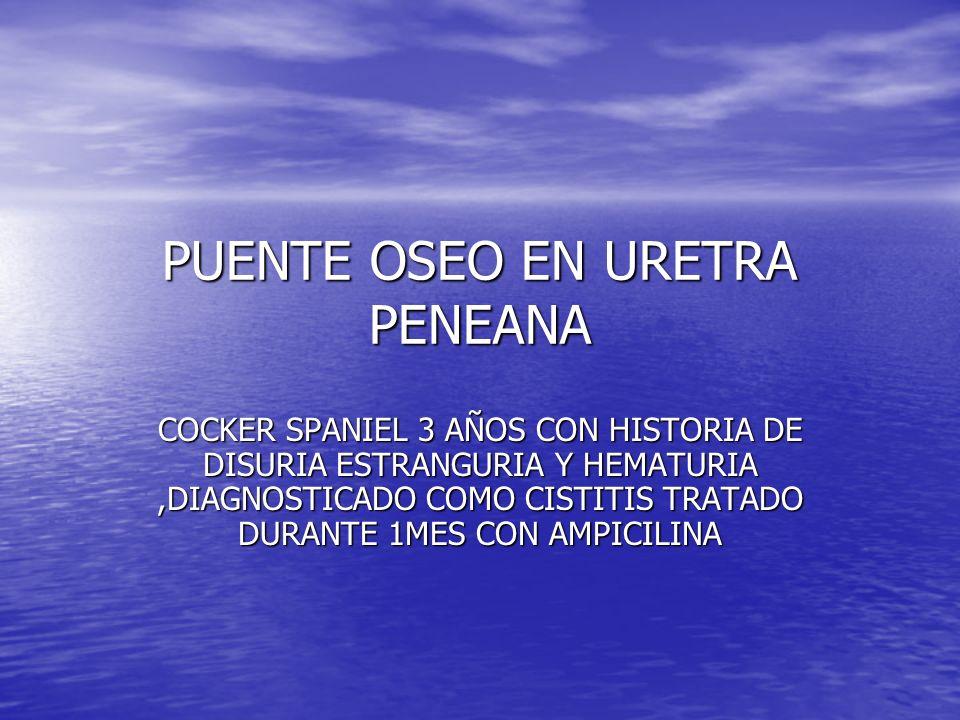 PUENTE OSEO EN URETRA PENEANA COCKER SPANIEL 3 AÑOS CON HISTORIA DE DISURIA ESTRANGURIA Y HEMATURIA,DIAGNOSTICADO COMO CISTITIS TRATADO DURANTE 1MES CON AMPICILINA