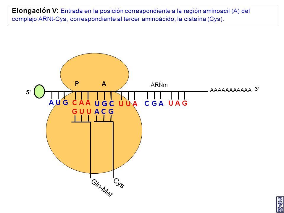 AAAAAAAAAAA P A A U G C A A Elongación V: Entrada en la posición correspondiente a la región aminoacil (A) del complejo ARNt-Cys, correspondiente al t