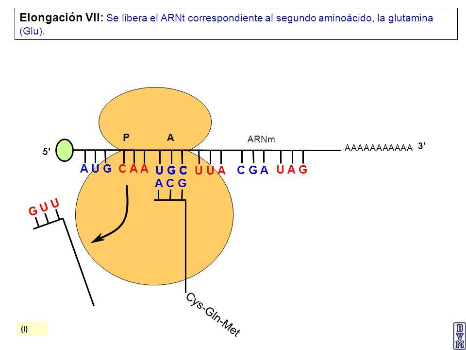 AAAAAAAAAAA P A A U G C A A Elongación VII: Se libera el ARNt correspondiente al segundo aminoácido, la glutamina (Glu). 5 U G C U U A C G A U A G ARN