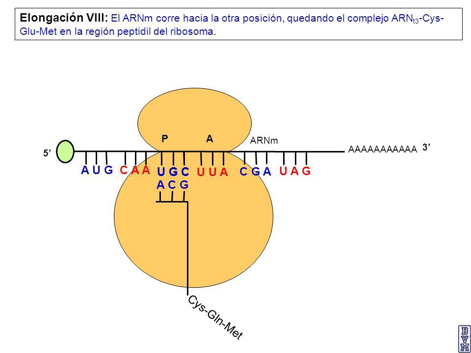AAAAAAAAAAA P A A U G C A A Elongación VIII: El ARNm corre hacia la otra posición, quedando el complejo ARN t3 -Cys- Glu-Met en la región peptidil del