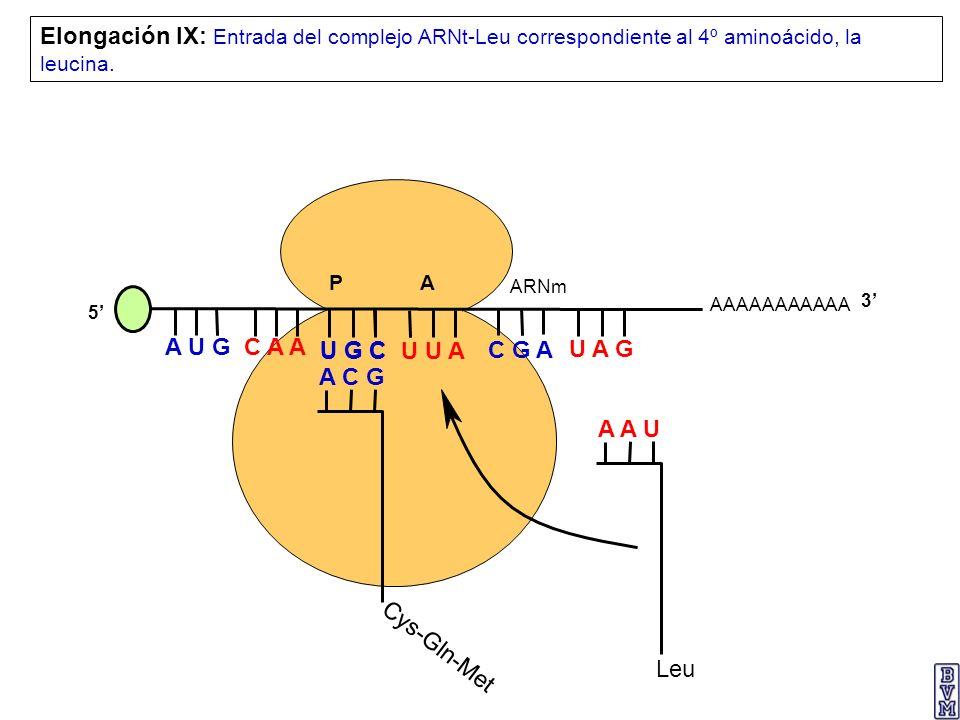 AAAAAAAAAAA P A A U G C A A Elongación IX: Entrada del complejo ARNt-Leu correspondiente al 4º aminoácido, la leucina. 5 U G C U U A C G A U A G ARNm