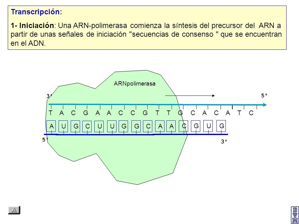 AAAAAAAAAAA P A A U G C A A Elongación XIII: Unión del péptido Met-Gln-Cys-Leu con el 5º aminoácido, la arginina (Arg).