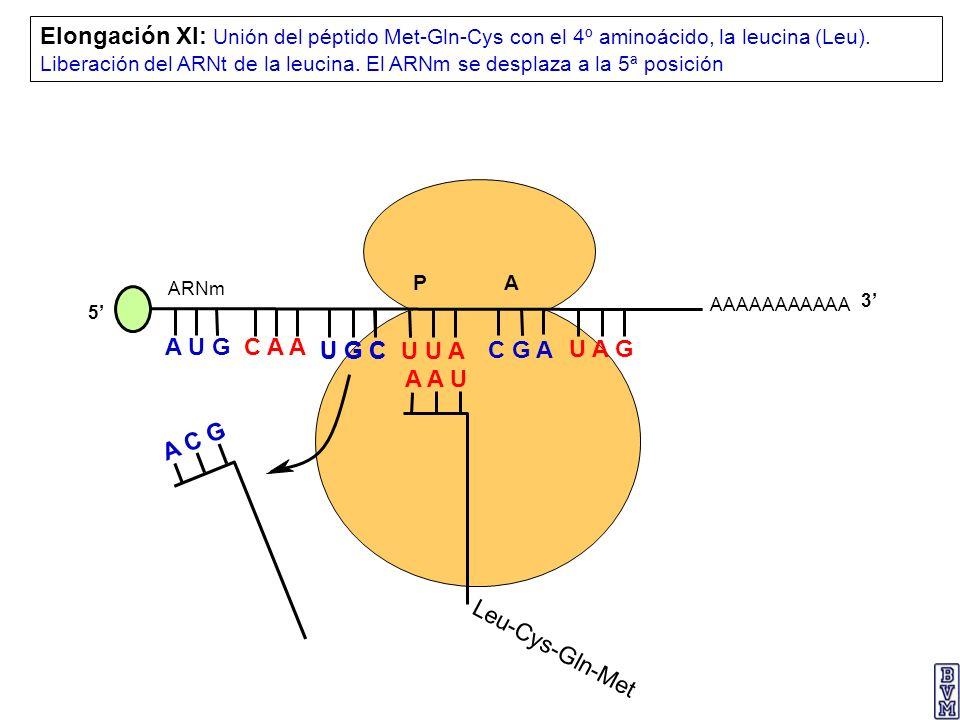 AAAAAAAAAAA P A A U G C A A Elongación XI: Unión del péptido Met-Gln-Cys con el 4º aminoácido, la leucina (Leu). Liberación del ARNt de la leucina. El