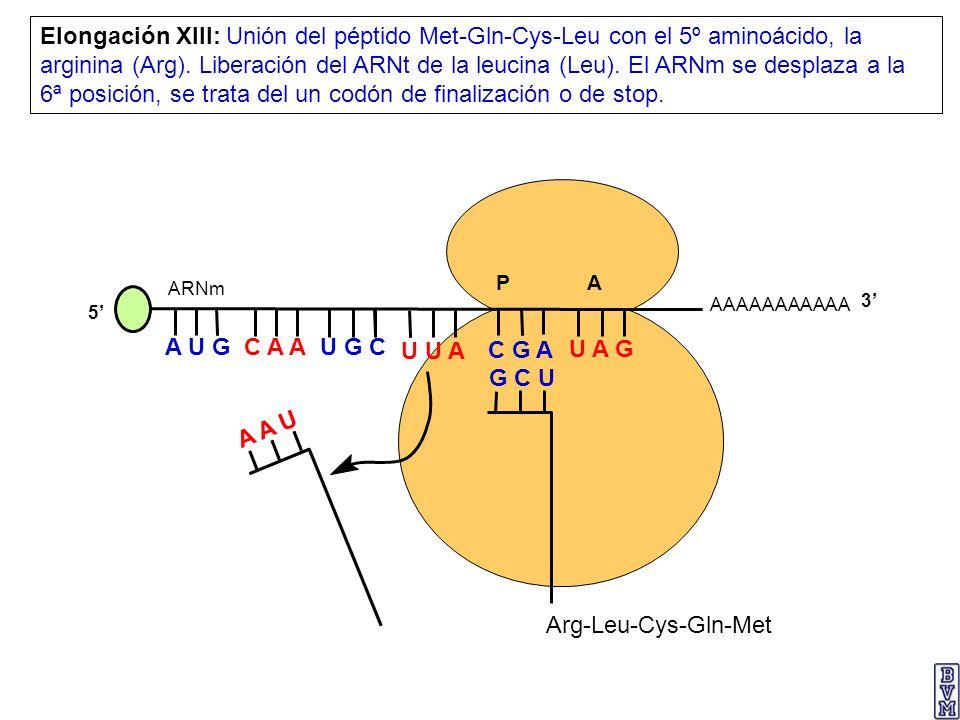 AAAAAAAAAAA P A A U G C A A Elongación XIII: Unión del péptido Met-Gln-Cys-Leu con el 5º aminoácido, la arginina (Arg). Liberación del ARNt de la leuc