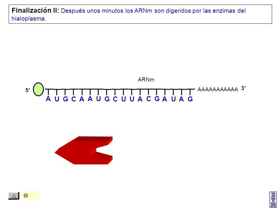 AAAAAAAAAAA Finalización II: Después unos minutos los ARNm son digeridos por las enzimas del hialoplasma. 5 ARNm 3 A U G C A A U G C U U A C G A U A G