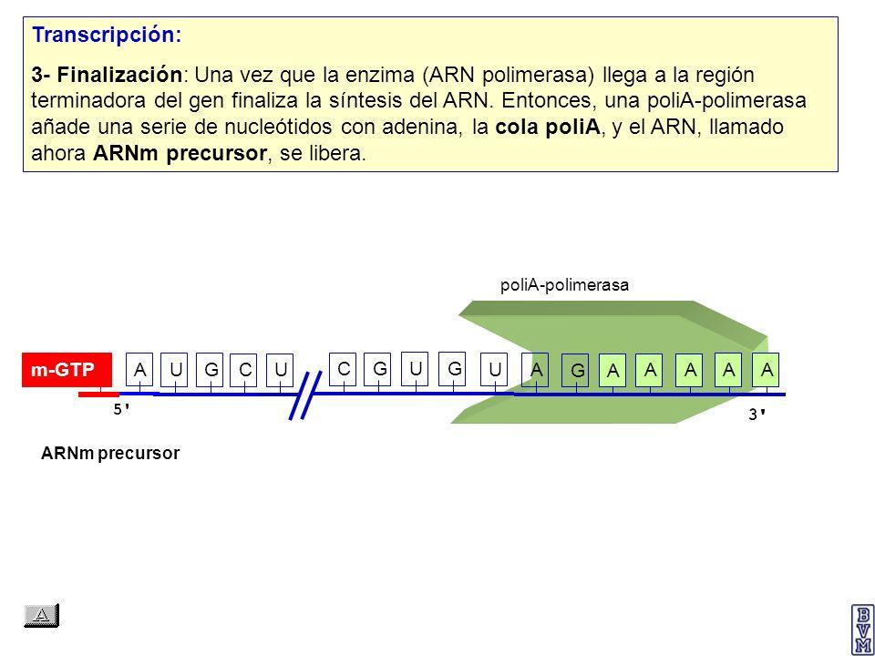 AUGCUCGUG Transcripción: 3- Finalización: Una vez que la enzima (ARN polimerasa) llega a la región terminadora del gen finaliza la síntesis del ARN. E