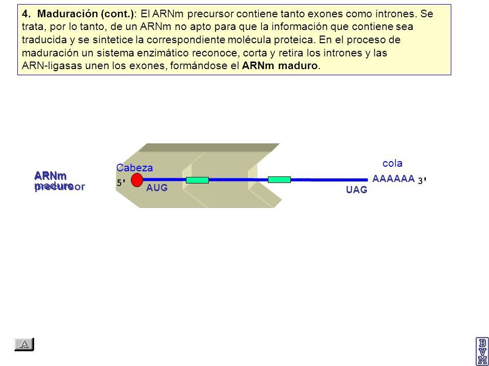 ARNm precursor AAAAAA AUG UAG cola 4. Maduración (cont.): El ARNm precursor contiene tanto exones como intrones. Se trata, por lo tanto, de un ARNm no
