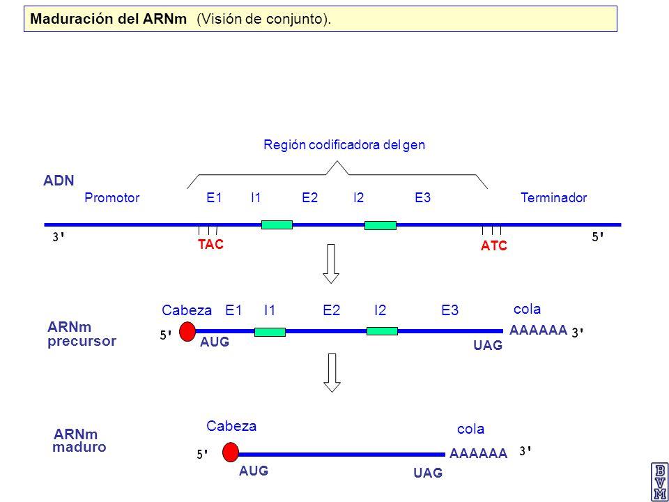 Región codificadora del gen Promotor E1 I1 E2 I2 E3 Terminador ADN ARNm precursor ARNm maduro AAAAAA AUG UAG AUG UAG ATC TAC Cabeza Cabeza E1 I1 E2 I2