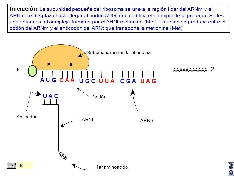 Met 1er aminoácido ARNt Anticodón Codón ARNm Subunidad menor del ribosoma AAAAAAAAAAA P A A U G C A A U A C Iniciación : La subunidad pequeña del ribo