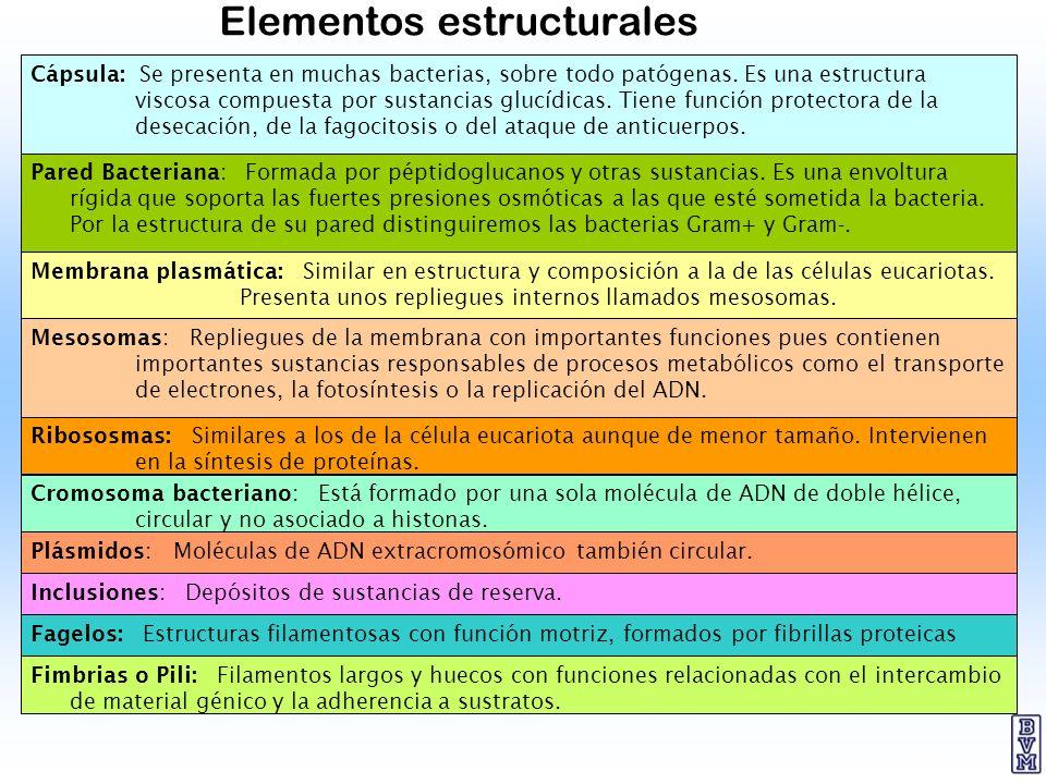 10 Elementos estructurales Cápsula: Se presenta en muchas bacterias, sobre todo patógenas. Es una estructura viscosa compuesta por sustancias glucídic