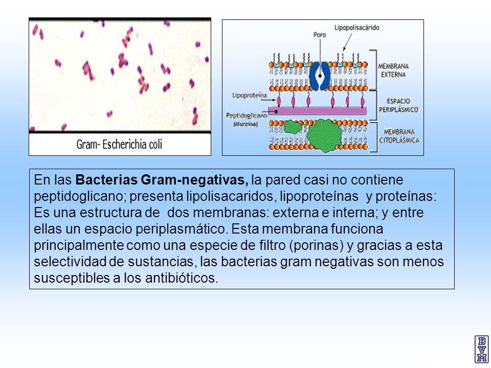 13 En las Bacterias Gram-negativas, la pared casi no contiene peptidoglicano; presenta lipolisacaridos, lipoproteínas y proteínas: Es una estructura d