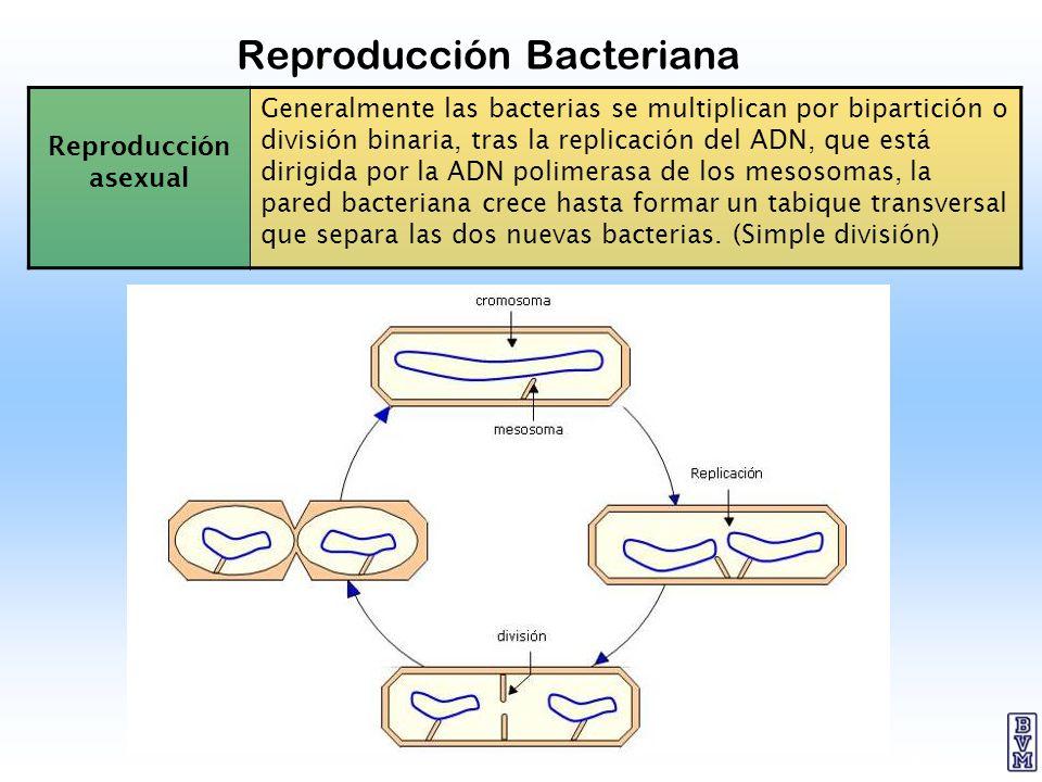 22 Reproducción Bacteriana Reproducción asexual Generalmente las bacterias se multiplican por bipartición o división binaria, tras la replicación del