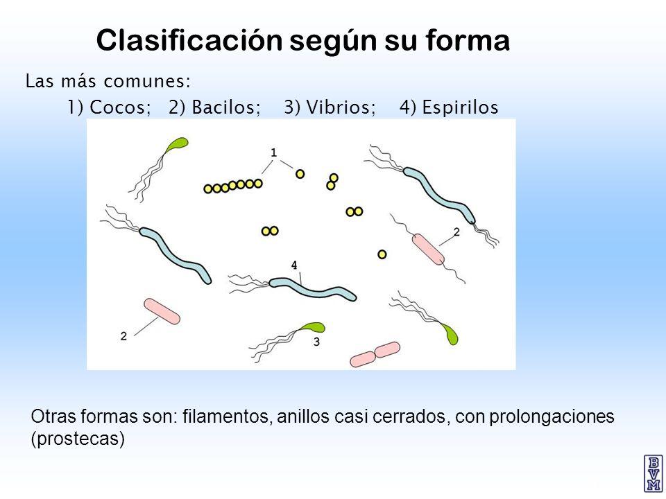5 Clasificación según su forma Las más comunes: 1) Cocos; 2) Bacilos; 3) Vibrios; 4) Espirilos Otras formas son: filamentos, anillos casi cerrados, co