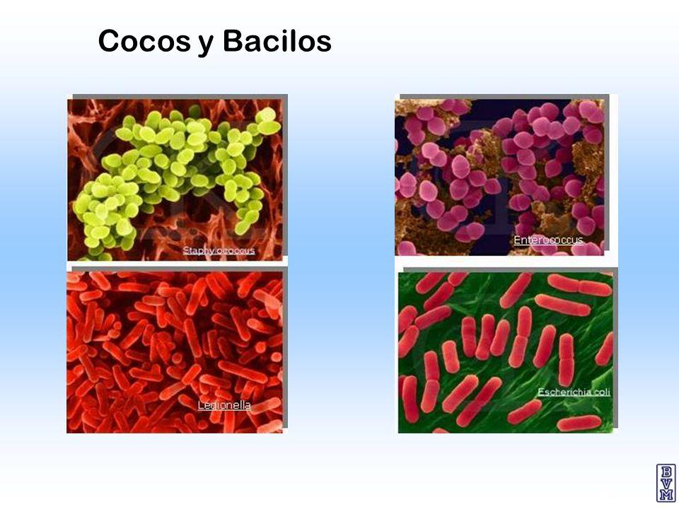 6 Cocos y Bacilos