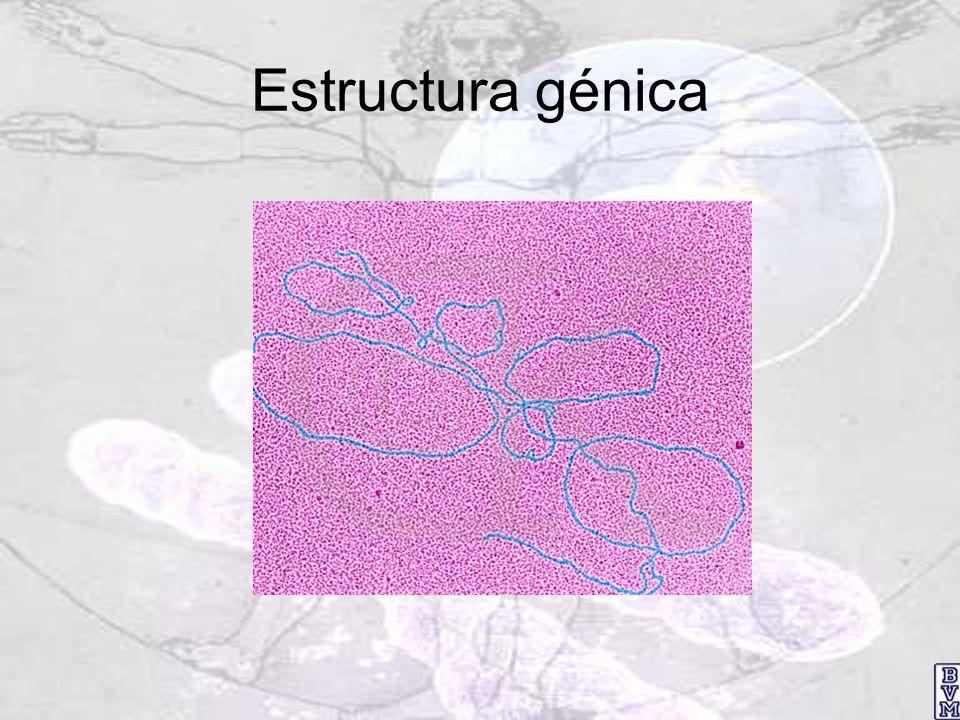 Control transcripcional: conceptos básicos Promotor : Secuencia de nucleótidos del ADN en la que se une la ARN polimerasa para iniciar la transcripción Caja TATA : Secuencia unos 30 pares de bases arriba del sitio de inicio de la transcripción Elemento promotor ascendente (UPE): Secuencia de 8-12 pares de bases, a corta distancia arriba del sitio de unión para ARN polimerasa Elemento intensificador o facilitador : Secuencia a miles de bases del promotor que es capaz de aumentar la rapidez de la transcripción