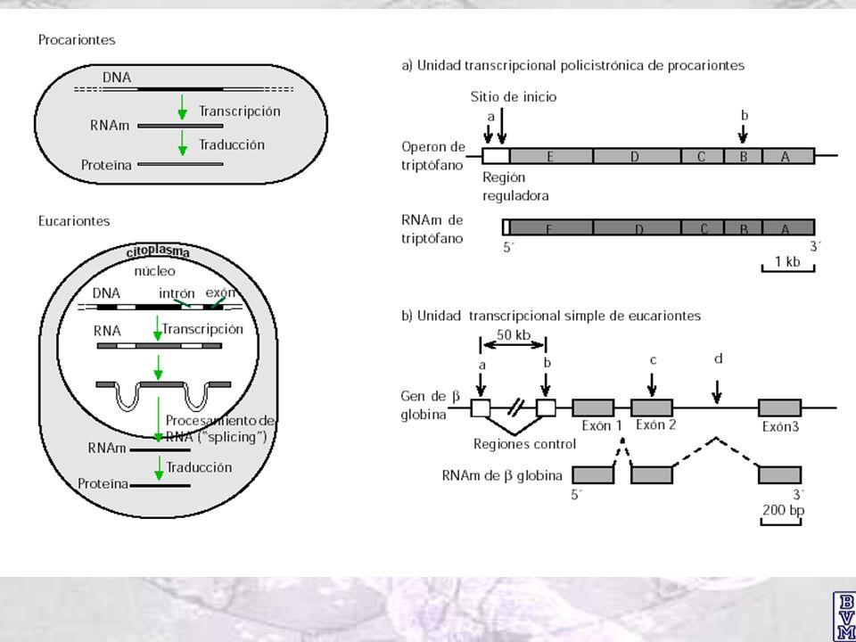 Iniciación de la transcripción en eucariontes