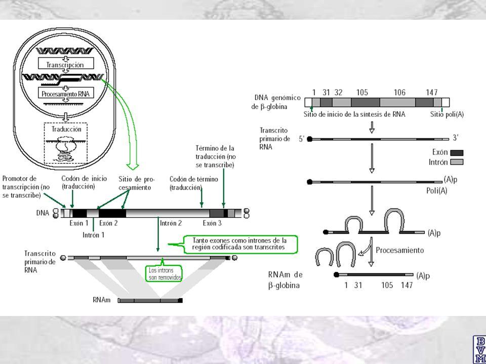 ARN polimerasa eucarionte: estructura general