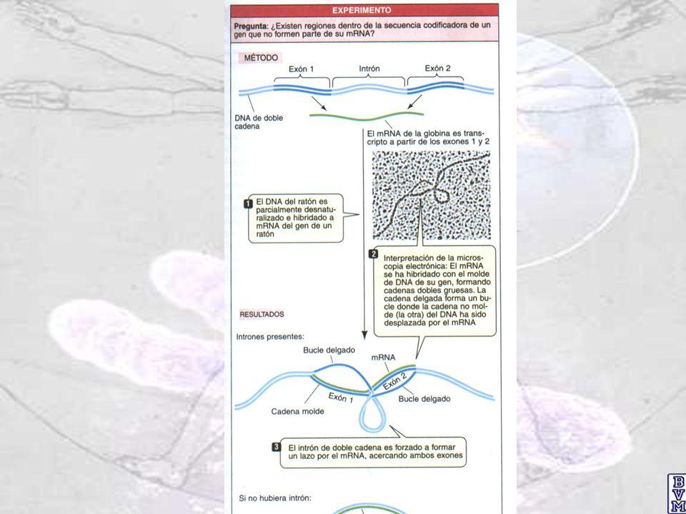 Relaciones entre el control positivo y negativo del operón lac