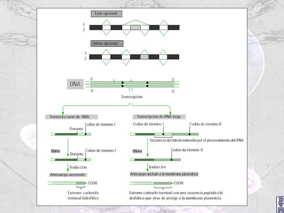 Niveles de regulación de la expresión génica ADN Transcritos primarios de ADN ARNm ARNm inactivo Proteína Proteína inactiva NÚCLEOCITOPLASMA 1.