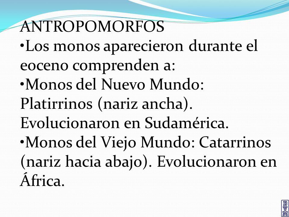 ANTROPOMORFOS Los monos aparecieron durante el eoceno comprenden a: Monos del Nuevo Mundo: Platirrinos (nariz ancha). Evolucionaron en Sudamérica. Mon