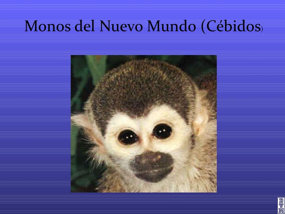 Monos del Nuevo Mundo (Cébidos )