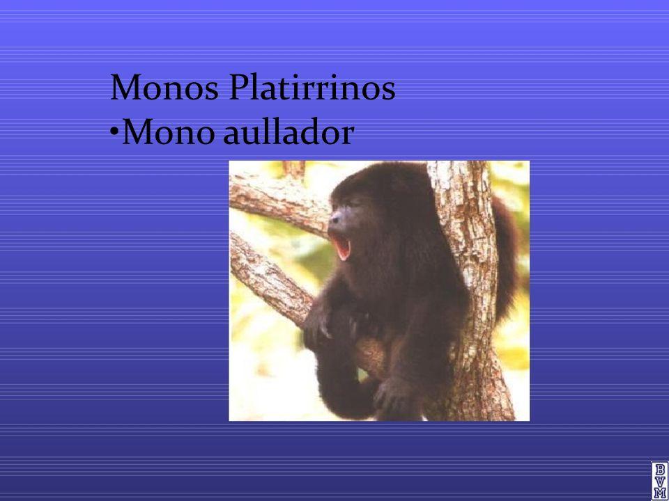 Monos Platirrinos Mono aullador