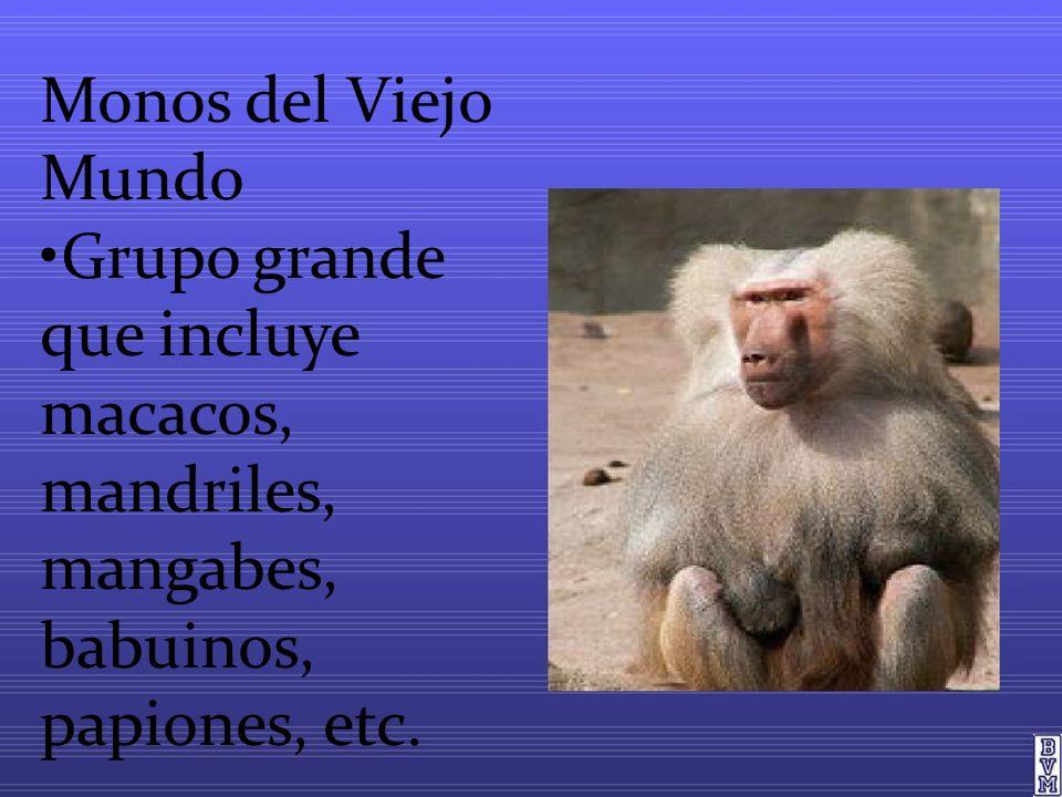 Monos del Viejo Mundo Grupo grande que incluye macacos, mandriles, mangabes, babuinos, papiones, etc.