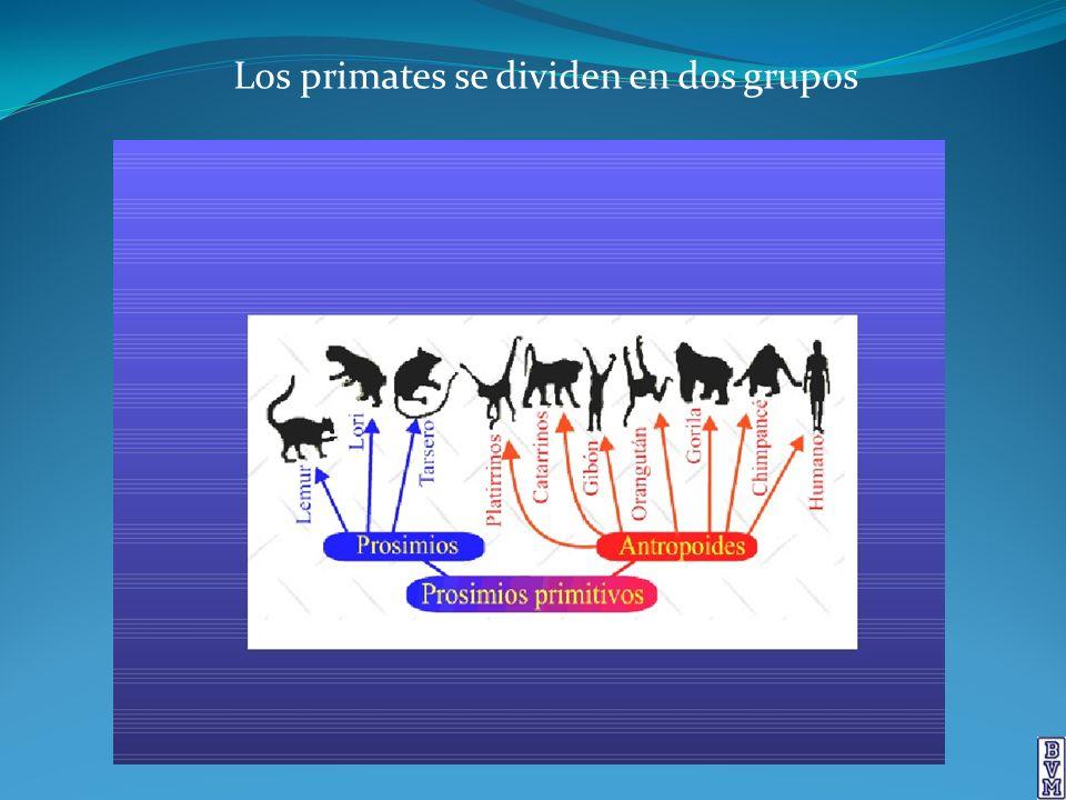 los principales rasgos que distinguen a los primates de otros mamíferos; sus adaptaciones a la vida en los árboles.