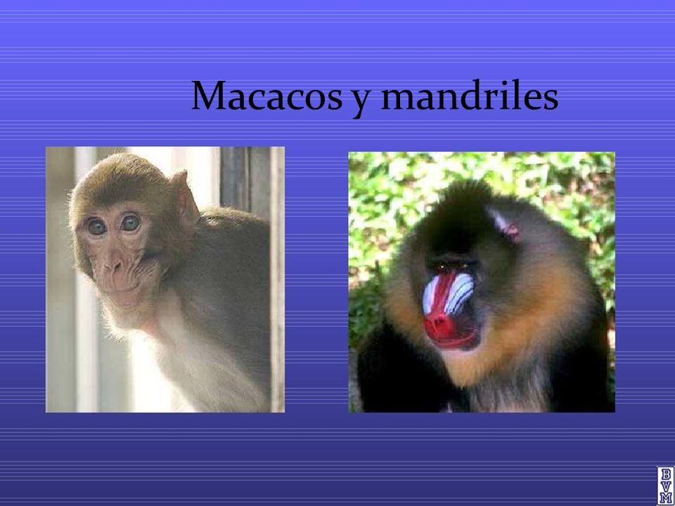 Macacos y mandriles