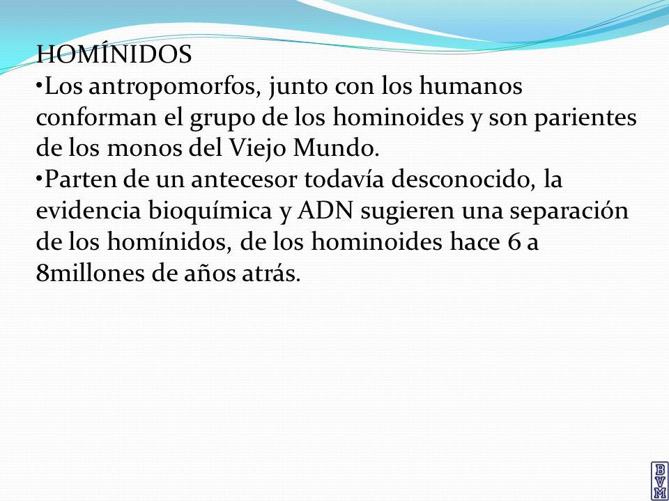 HOMÍNIDOS Los antropomorfos, junto con los humanos conforman el grupo de los hominoides y son parientes de los monos del Viejo Mundo. Parten de un ant