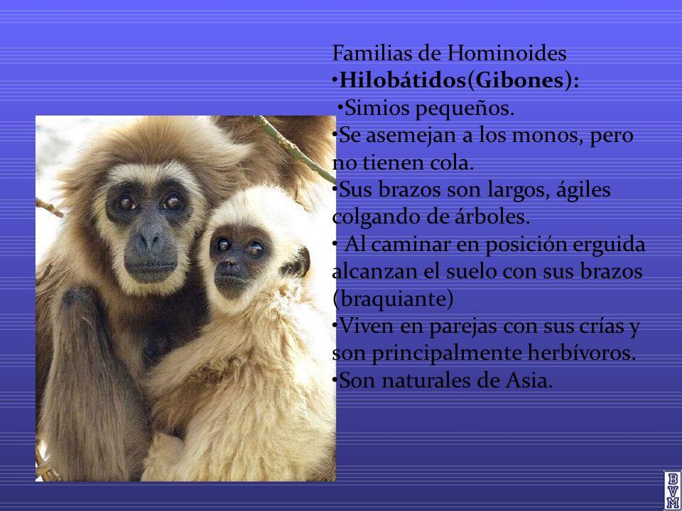 Familias de Hominoides Hilobátidos(Gibones): Simios pequeños. Se asemejan a los monos, pero no tienen cola. Sus brazos son largos, ágiles colgando de