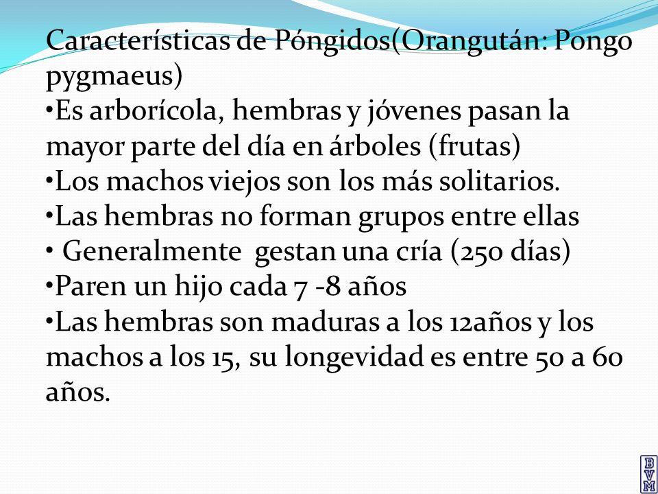 Características de Póngidos(Orangután: Pongo pygmaeus) Es arborícola, hembras y jóvenes pasan la mayor parte del día en árboles (frutas) Los machos vi