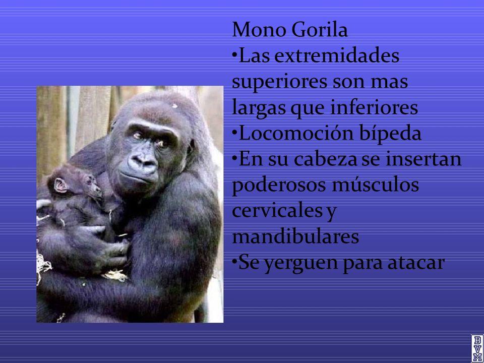 Mono Gorila Las extremidades superiores son mas largas que inferiores Locomoción bípeda En su cabeza se insertan poderosos músculos cervicales y mandibulares Se yerguen para atacar