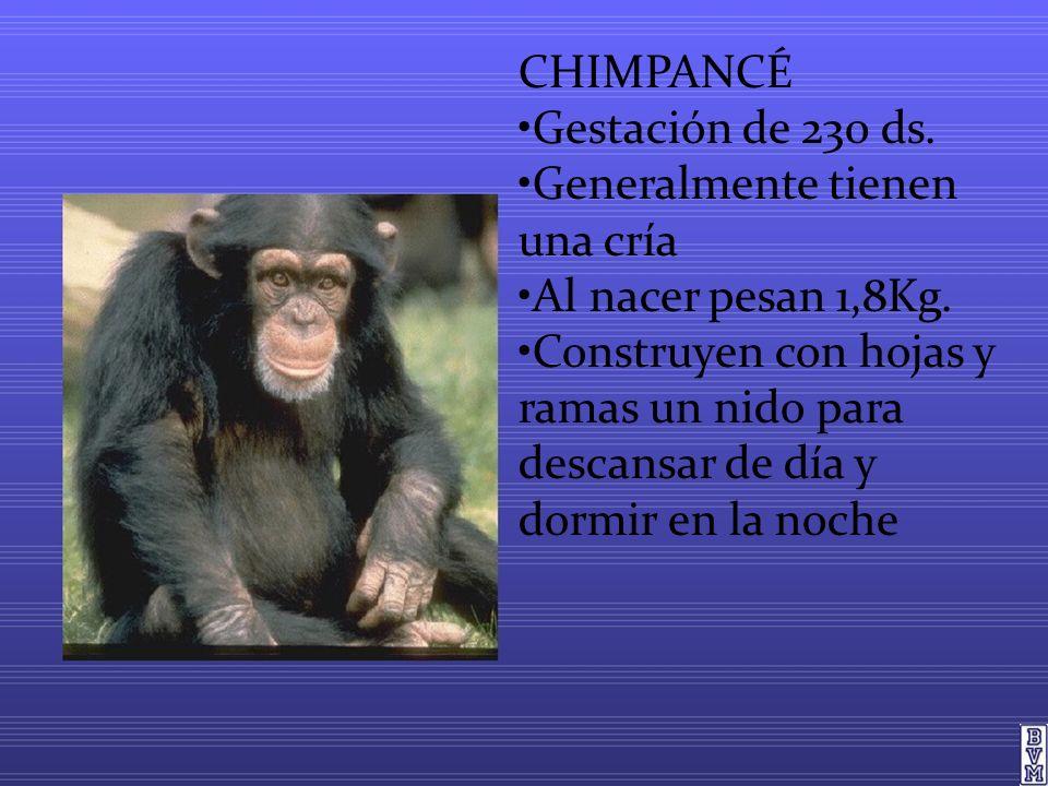CHIMPANCÉ Gestación de 230 ds.Generalmente tienen una cría Al nacer pesan 1,8Kg.